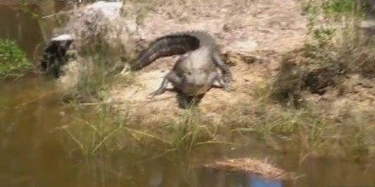 Alligator spotted near resident's backyard in Pass Christian