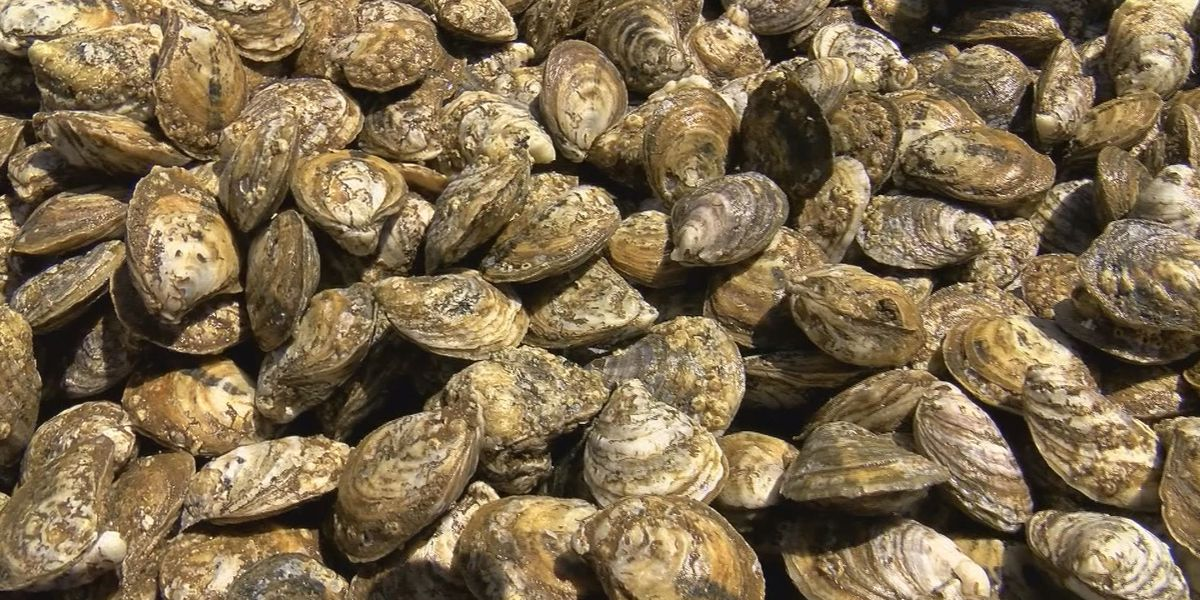 Oyster Council chairman says spillway is hurting production