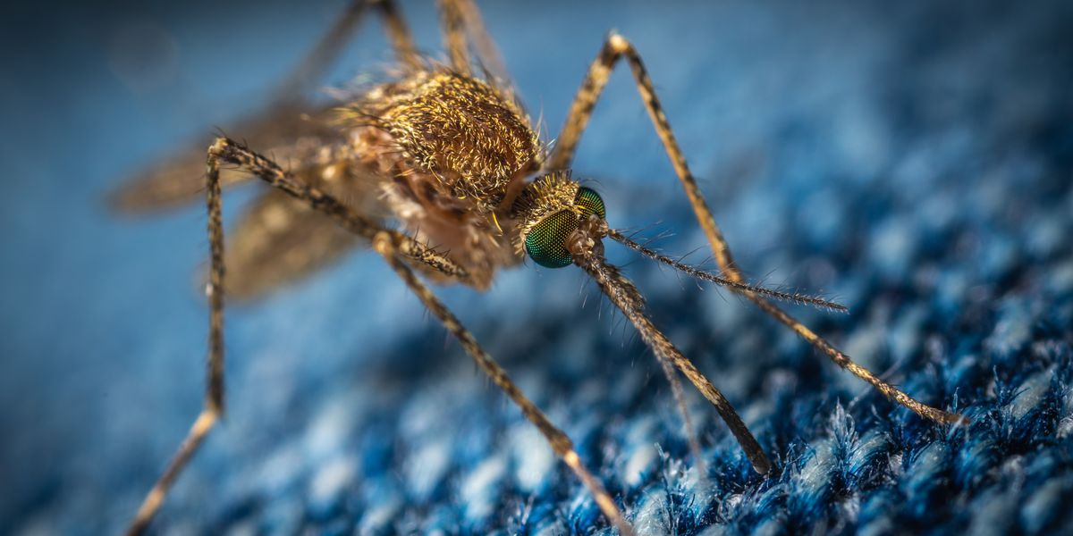 West Nile infected mosquitoes captured in Chatham-Kent
