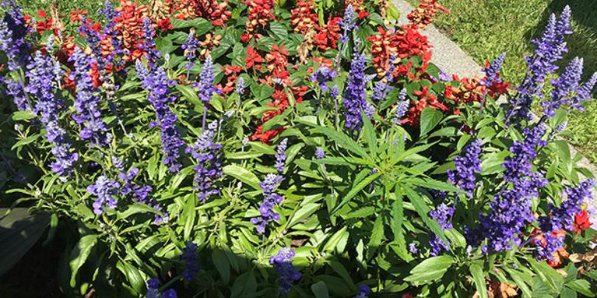Who planted cannabis in the Vermont Statehouse flower beds?
