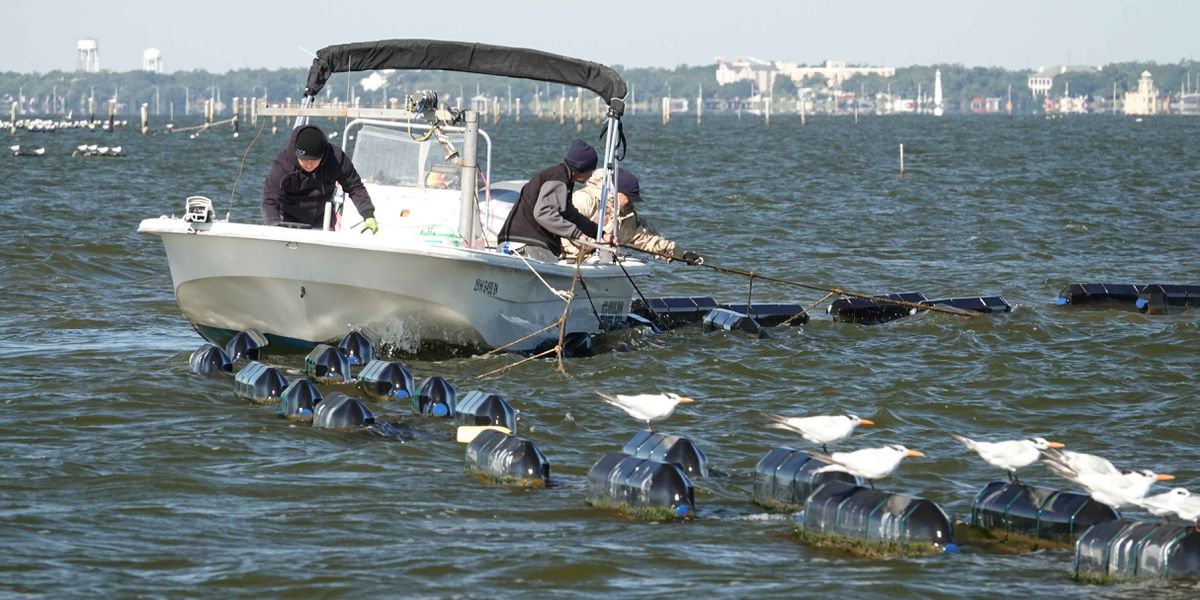 How baby oysters in Mississippi survived this year's influx of fresh water