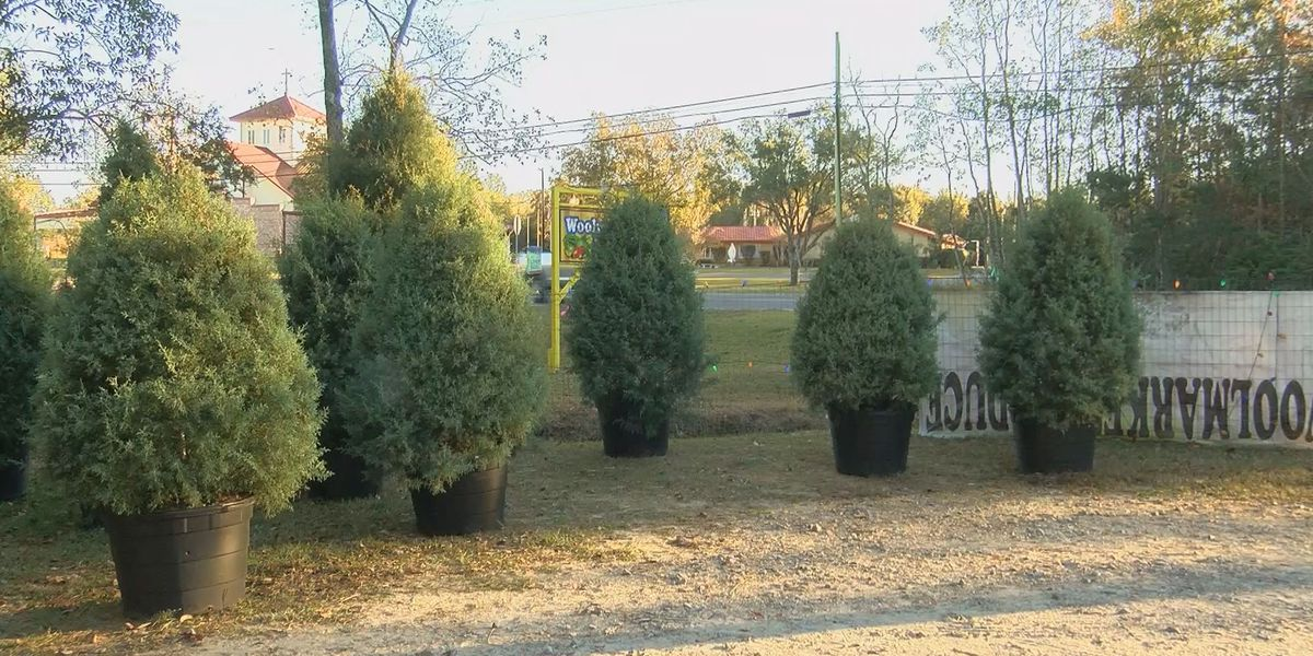 woolmarket business sells potted christmas trees - Potted Christmas Tree